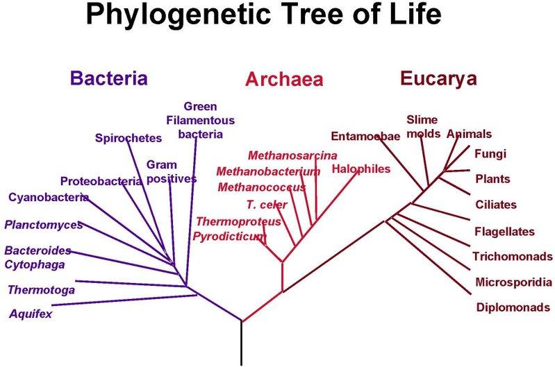 external image phylogenetictreeoflife.jpg