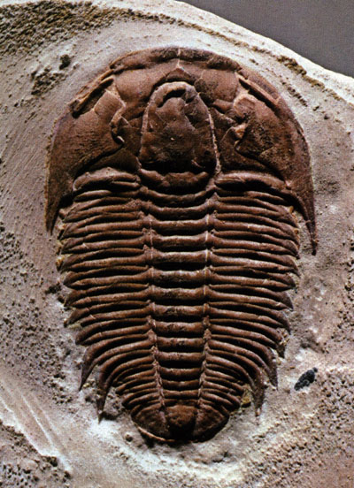 The ever popular Trilobite