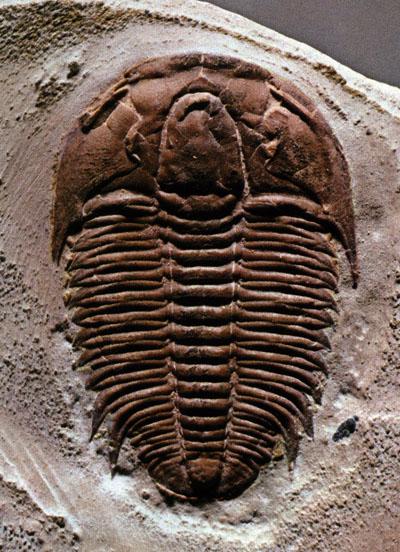 The ever popular Trilobite